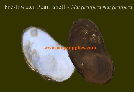 Fresh water pearl shell